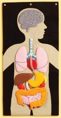 Anatomy-simpler